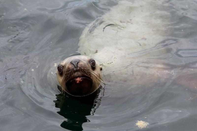 "<a href=""/node/977"">Curious Sea Lion</a>"